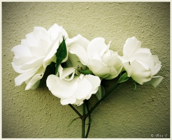 https://berona.files.wordpress.com/2011/07/white_roses_by_eternal_love01.jpg?w=300